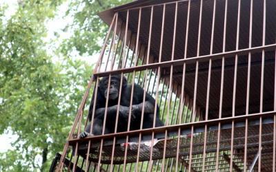Chimpanzee off the Square